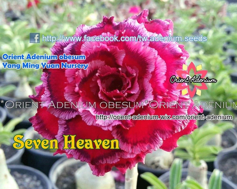Адениум Тучный Seven Heaven