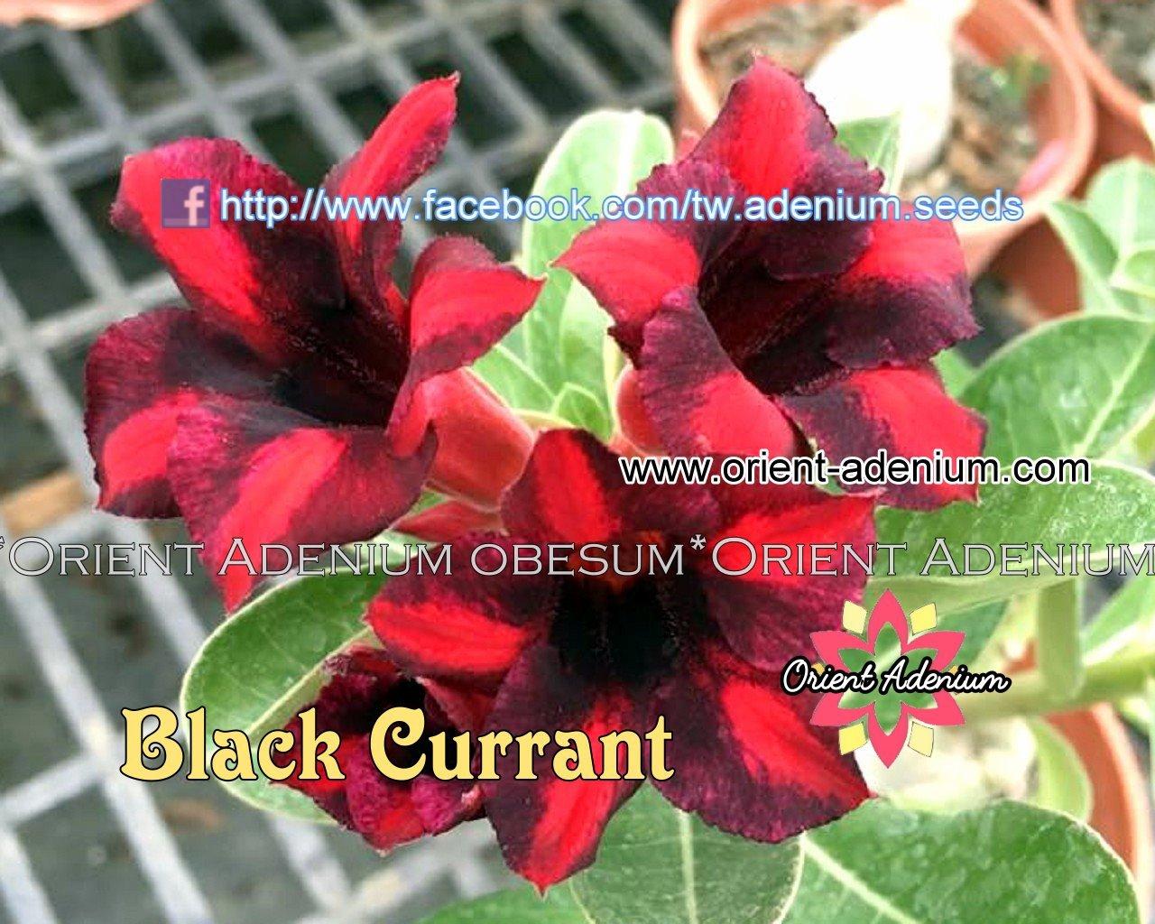 Адениум Тучный Black Currant