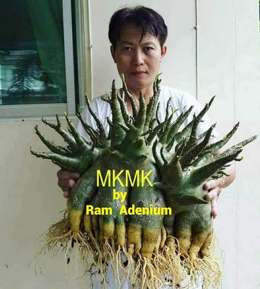 Адениум Арабикум MKMK