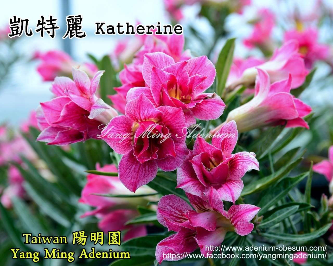 Адениум Тучный Katherine