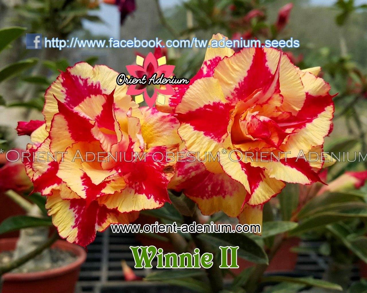 Адениум Тучный Winnie 2