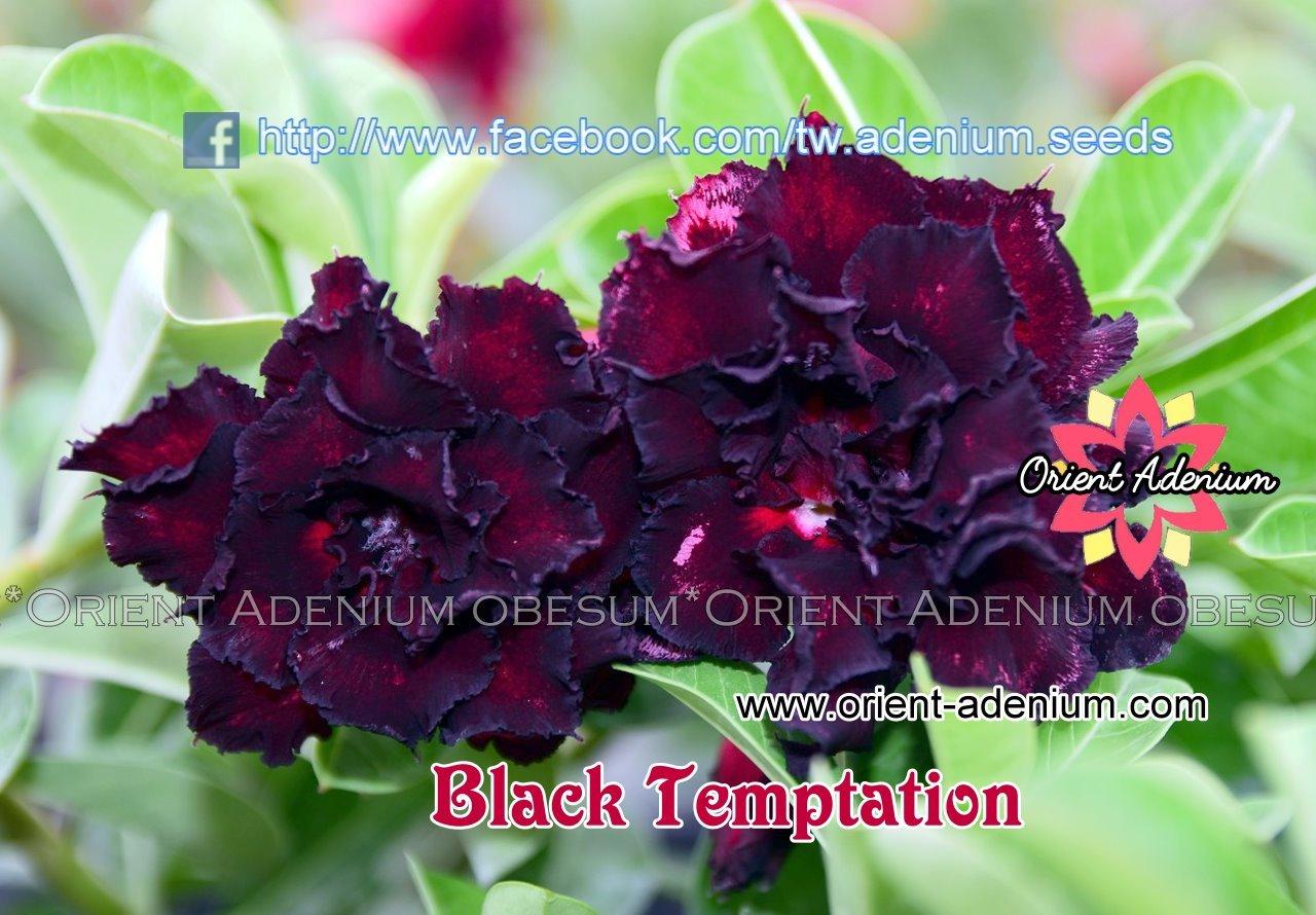 Адениум Тучный Black Temptation