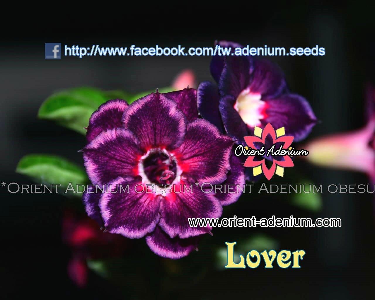 Адениум Тучный Lover