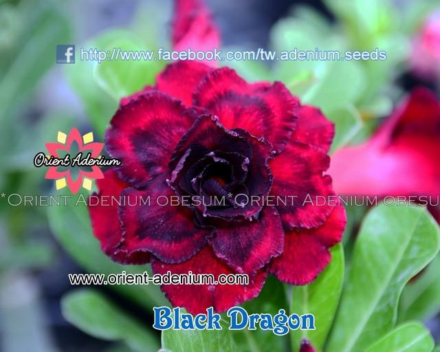 Адениум Тучный Black Dragon