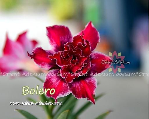 Адениум Тучный Bolero