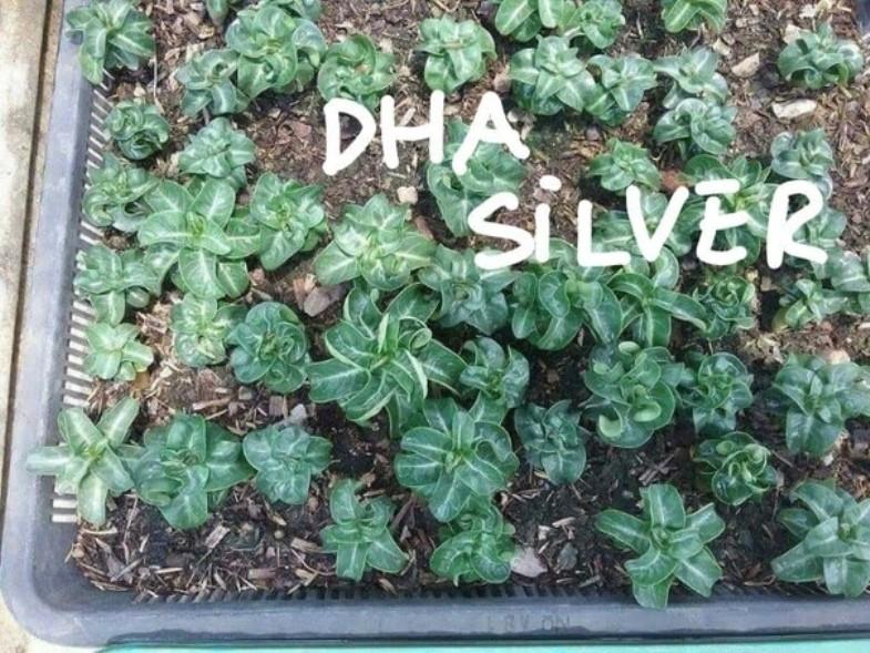 Адениум Dorset Horn 95-100% Silver