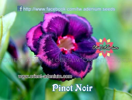 Адениум Тучный Pinot Noir