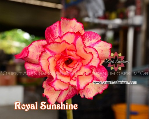 Адениум Тучный Royal Sunshine