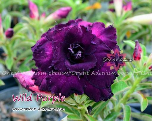 Адениум Тучный Wild Purple