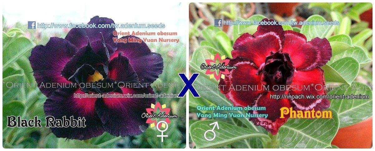 Адениум РО Black Rabbit + Phantom