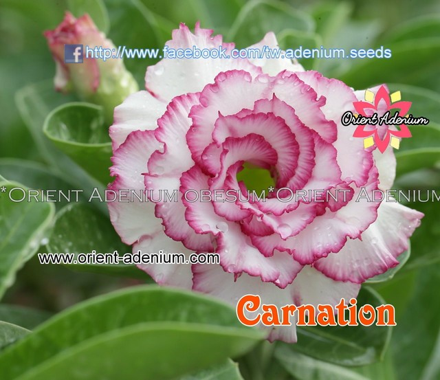 Адениум Тучный Carnation