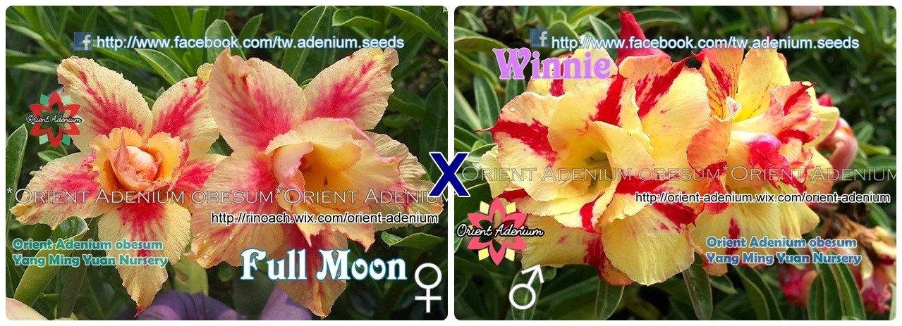 Адениум РО Full Moon + Winnie