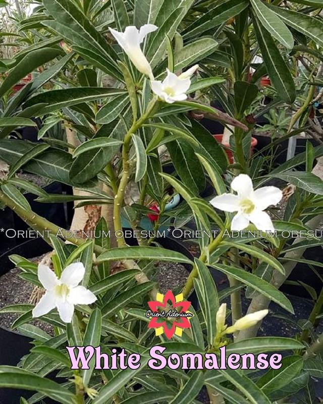 Адениум Сомалийский White