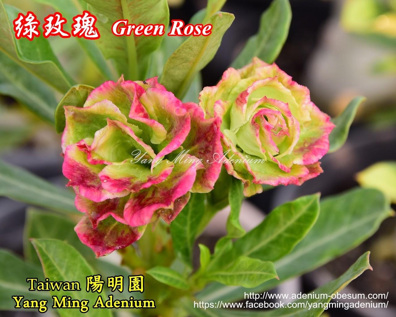 Привитый адениум Green Rose