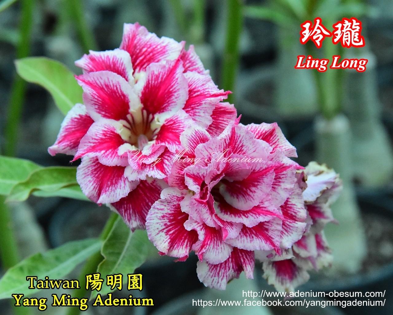 Привитый адениум Ling Long