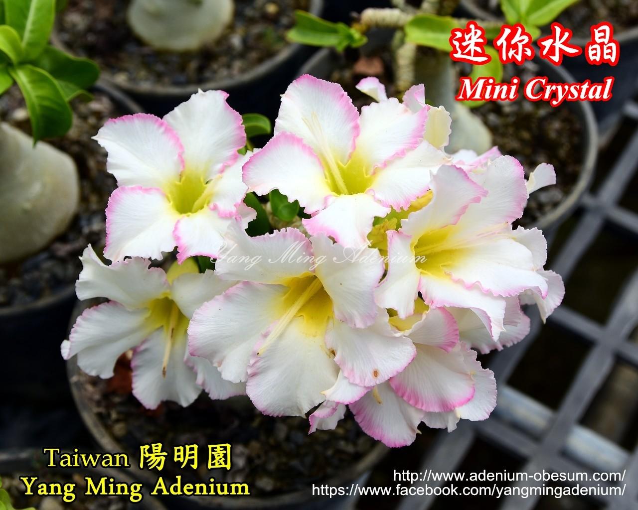 Привитый адениум Mini Crystal