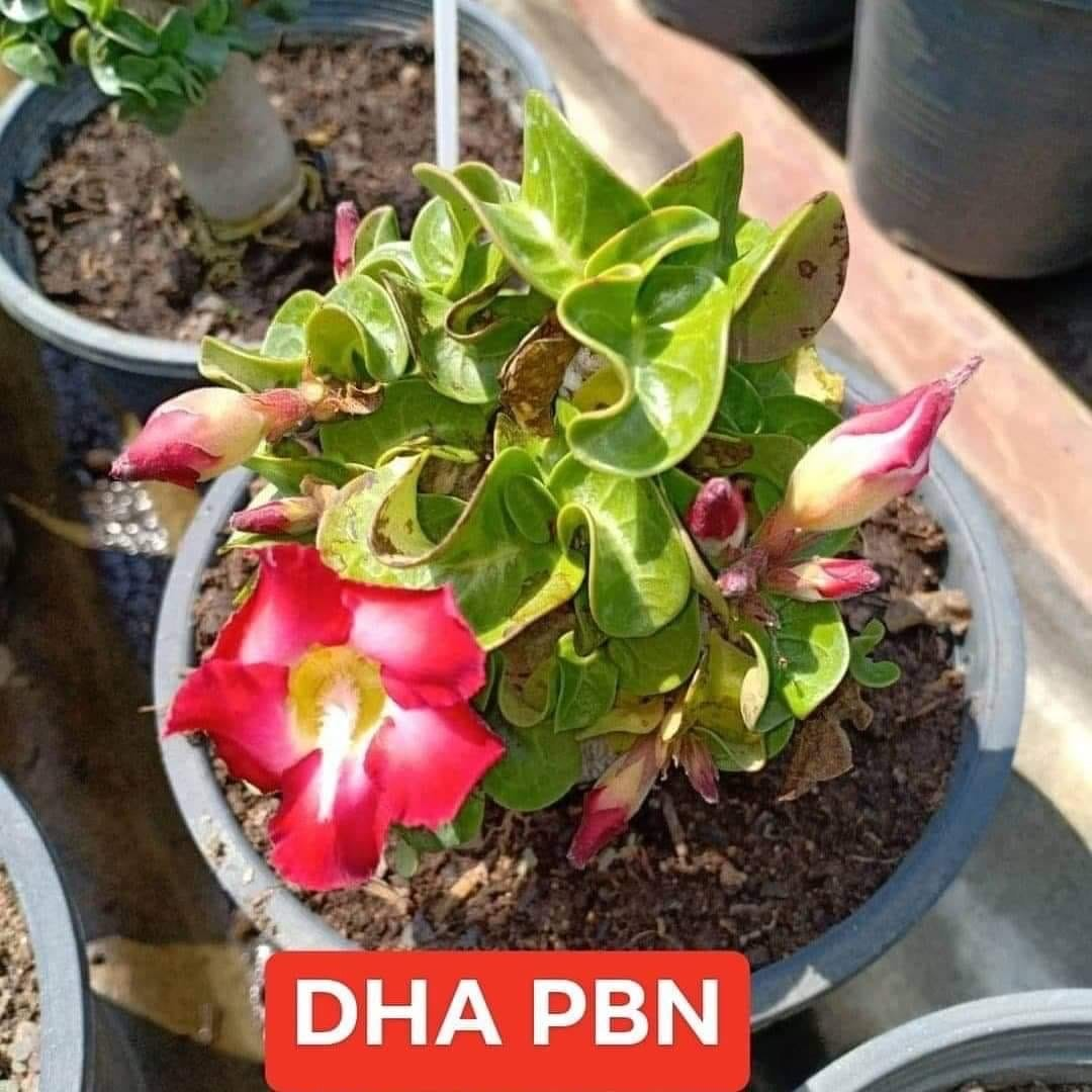 Адениум Dorset Horn 95-100% PBN