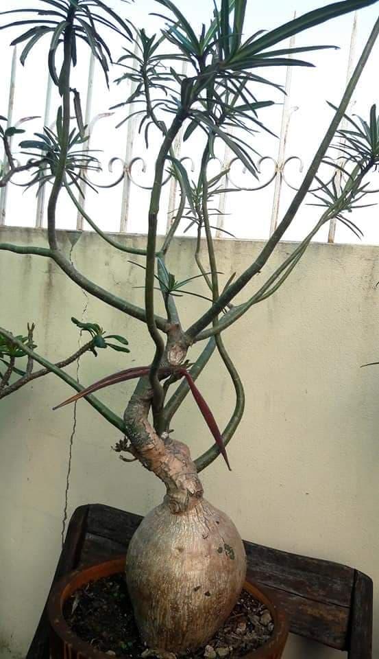 Адениум Сомалийский Nova Tanzania