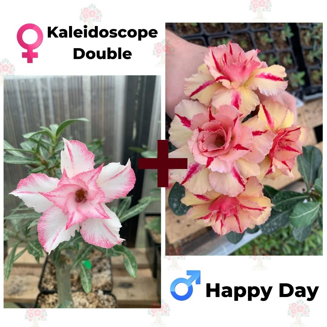 Адениум РО Kaleidoscope Double + Happy Day