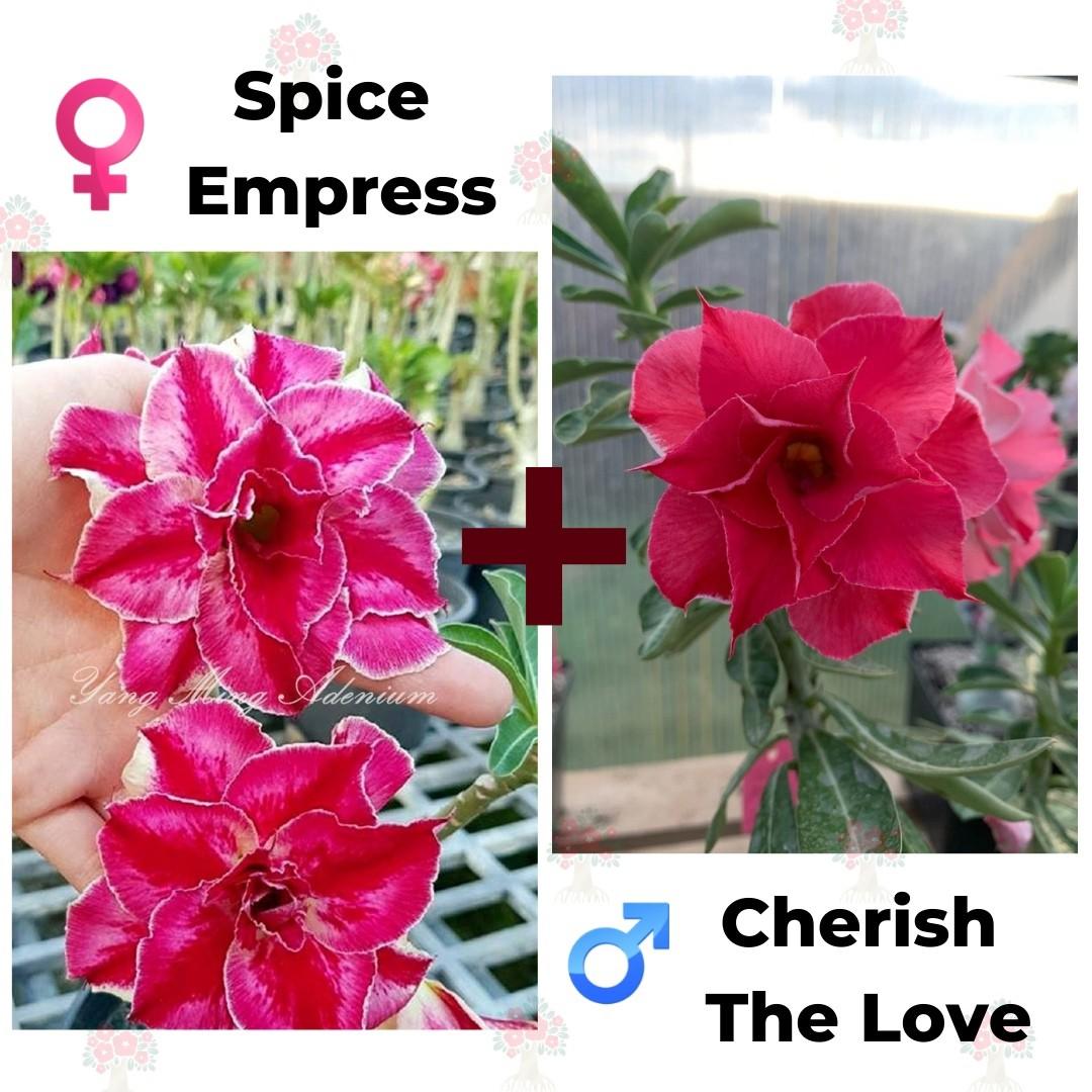 Адениум РО Spice Empress + Cherish the Love