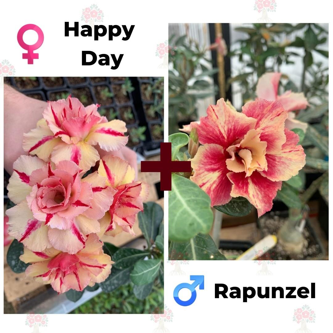 Адениум РО Happy Day + Rapunzel