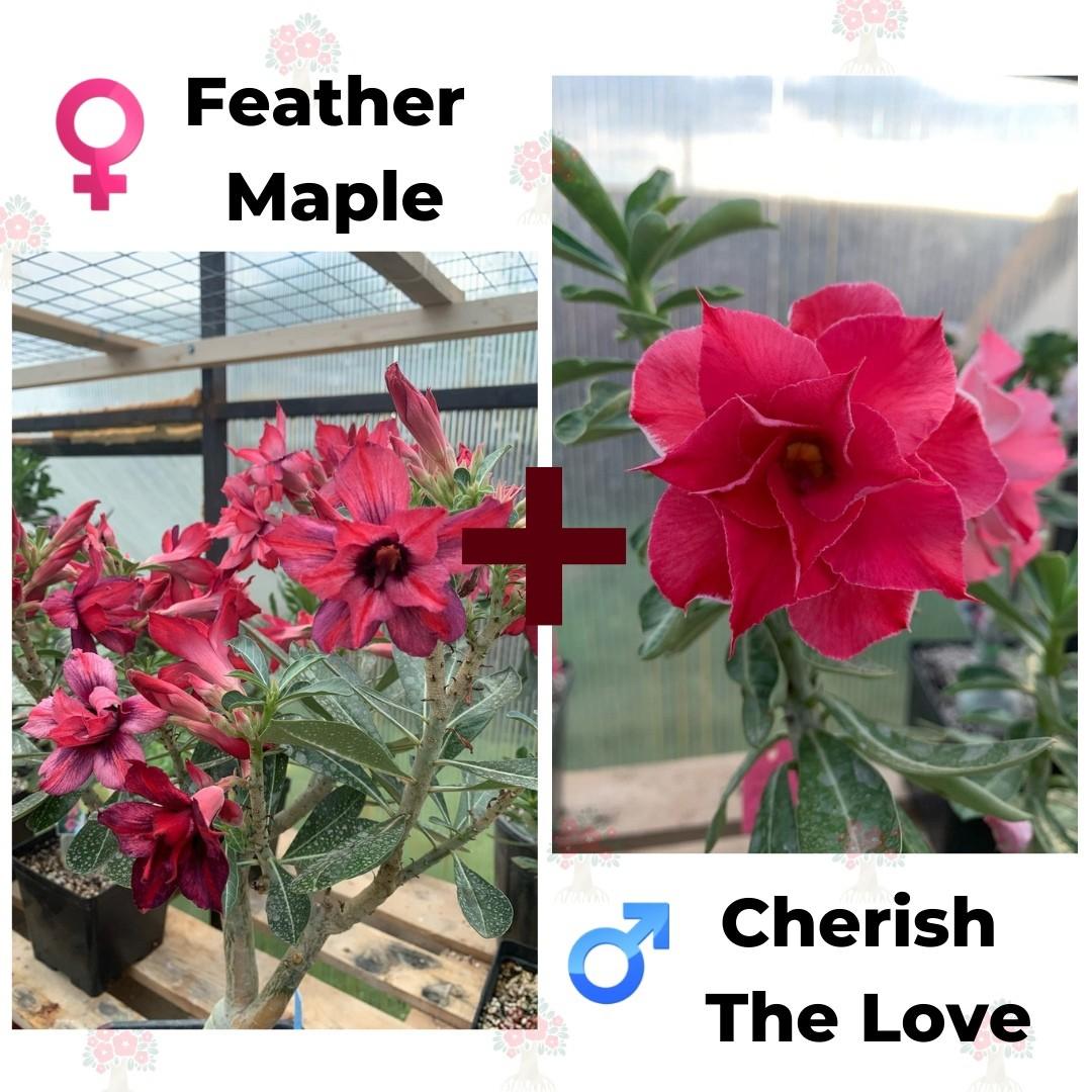 Адениум РО Feather Maple + Cherish the Love