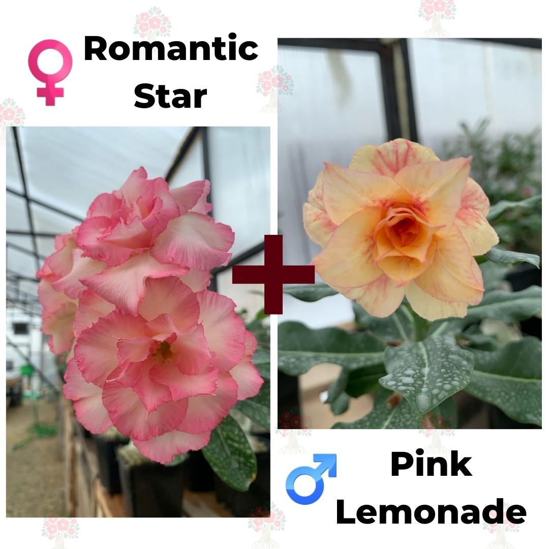 Адениум РО Romantic Night (Star) + Pink Lemonade