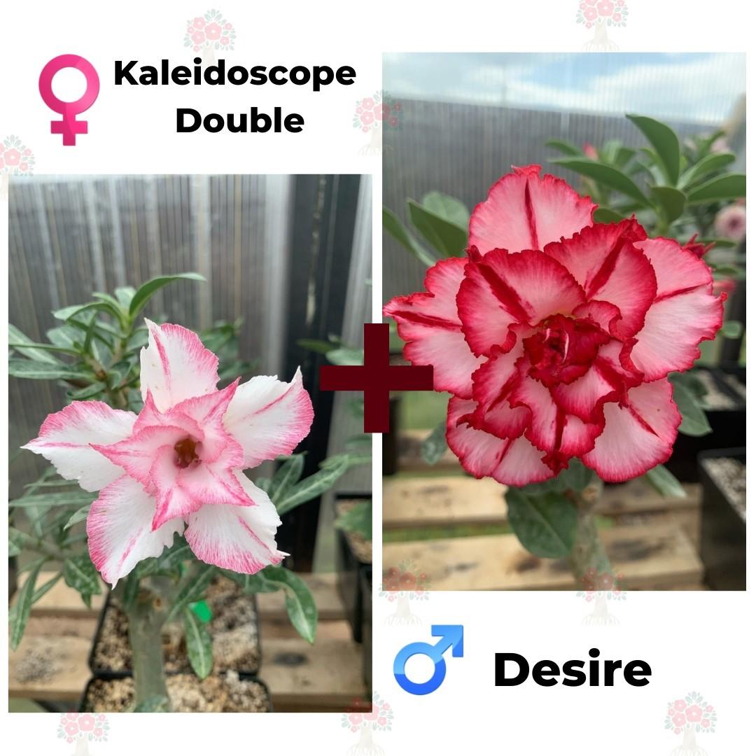 Адениум РО Kaleidoscope Double + Desire