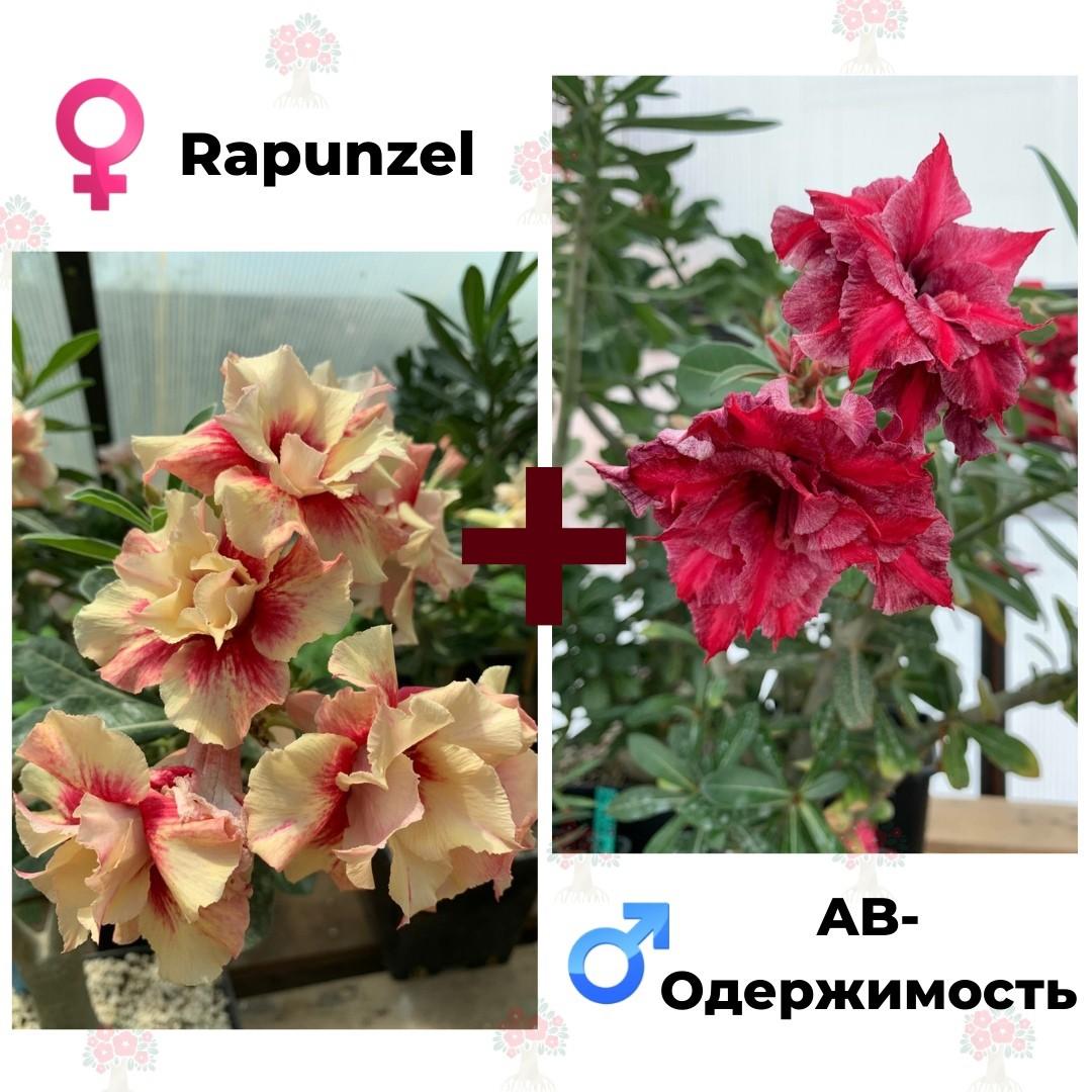 Адениум РО Rapunzel + AB-Одержимость