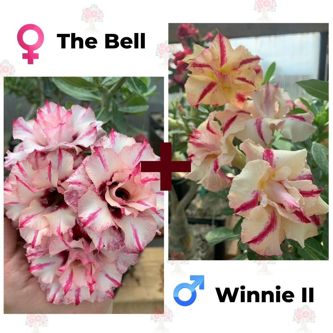 Адениум РО The Bell + Winnie 2