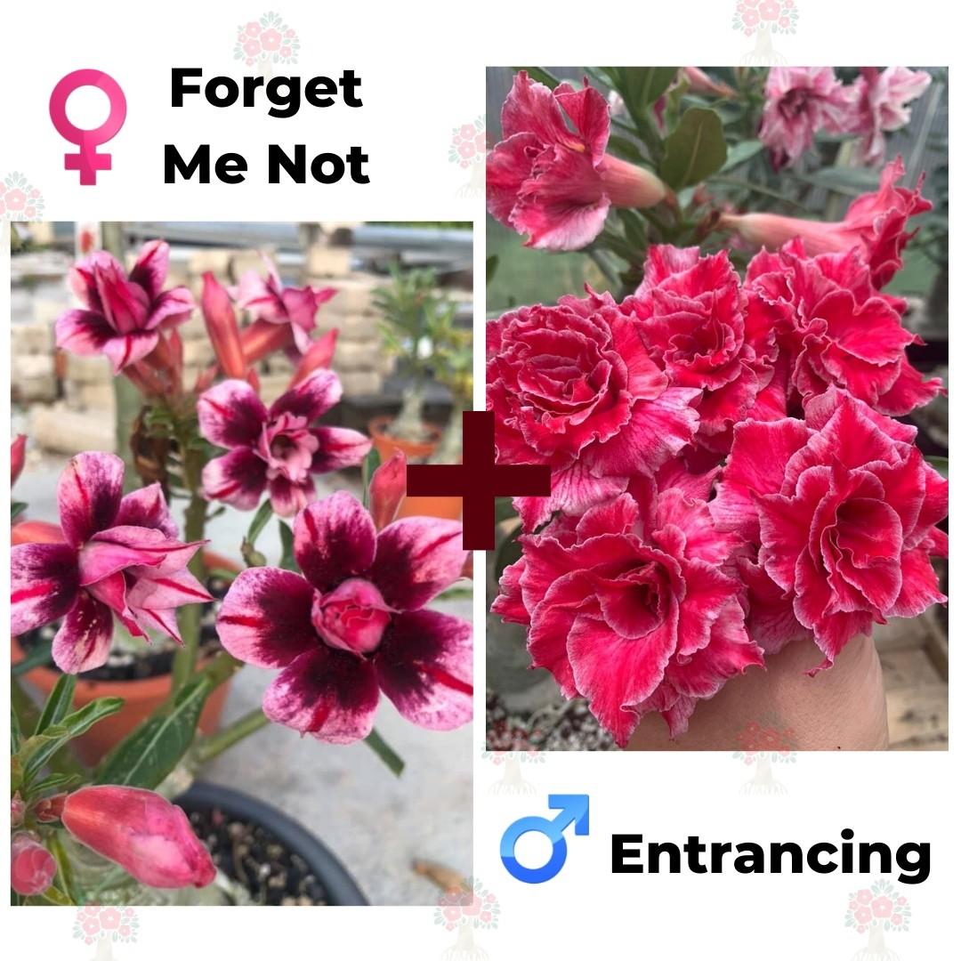 Адениум РО Forget me Not + Entrancing