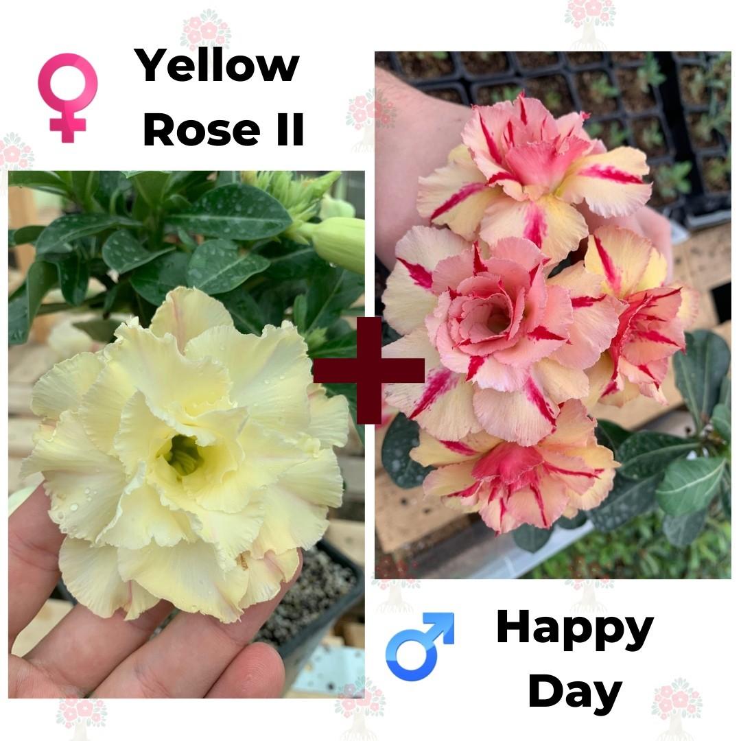 Адениум РО Yellow Rose 2 + Happy Day