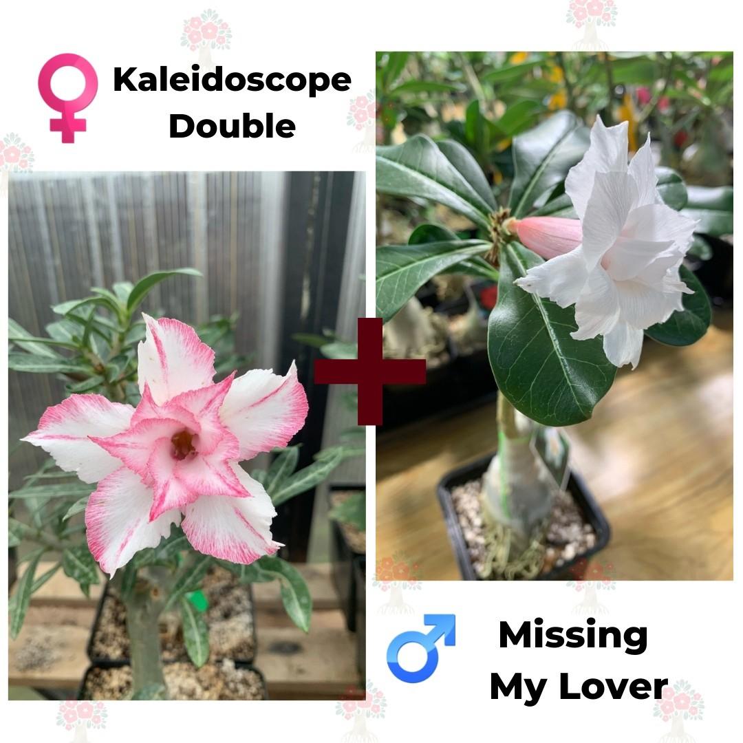 Адениум РО Kaleidoscope Double + Missing my Lover