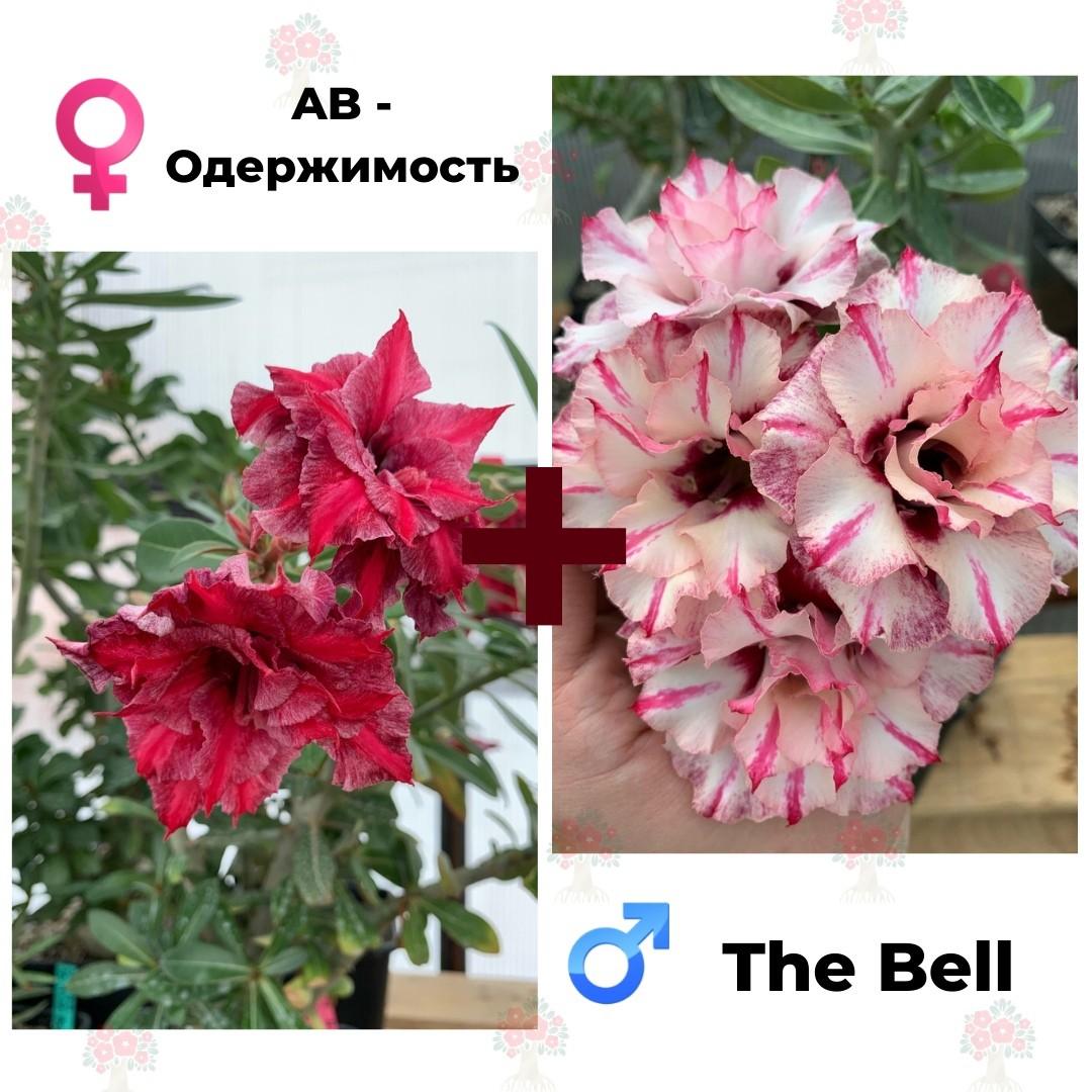 Адениум РО AB-Одержимость + The Bell