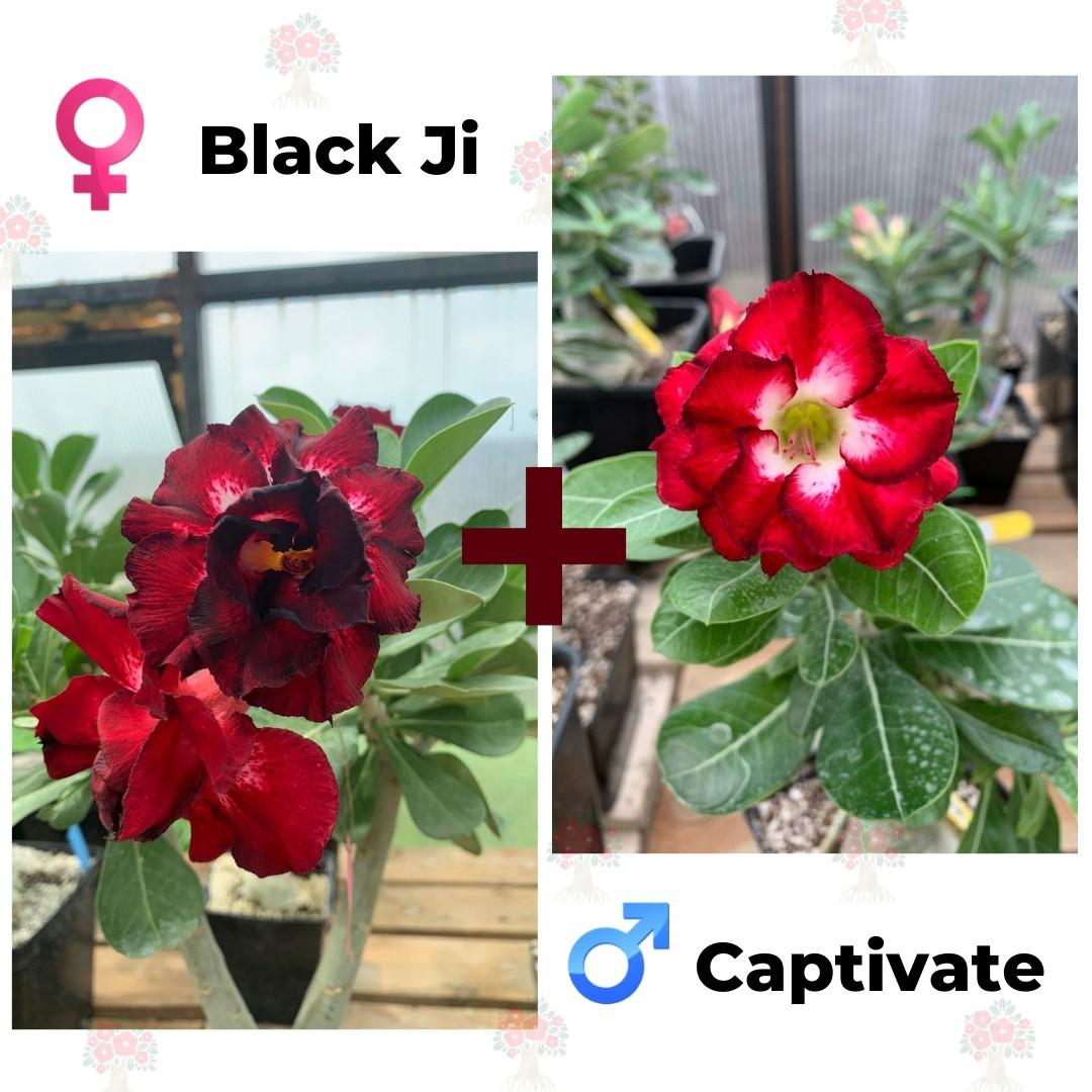 Адениум РО Black Ji + Captivate