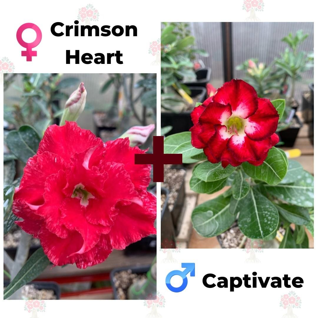 Адениум РО Crimson Heart + Captivate