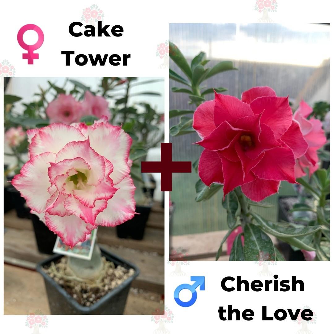 Адениум РО Cake Tower + Cherish the Love