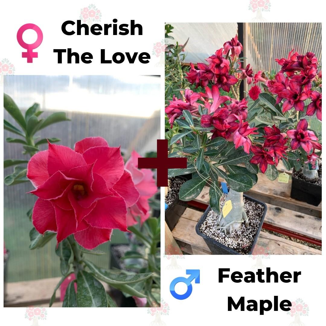 Адениум РО Cherish the Love + Feather Maple
