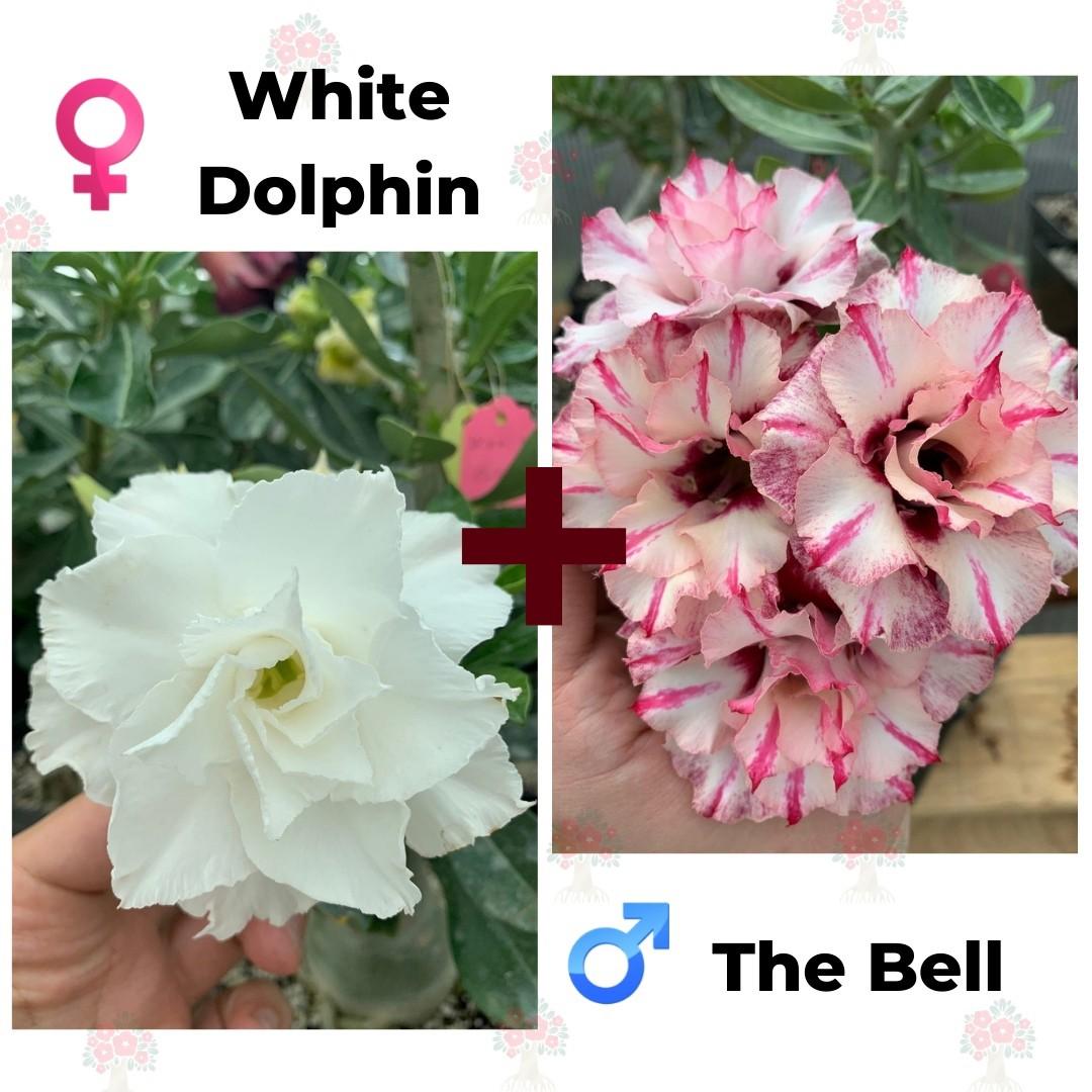 Адениум РО White Dolphin + The Bell