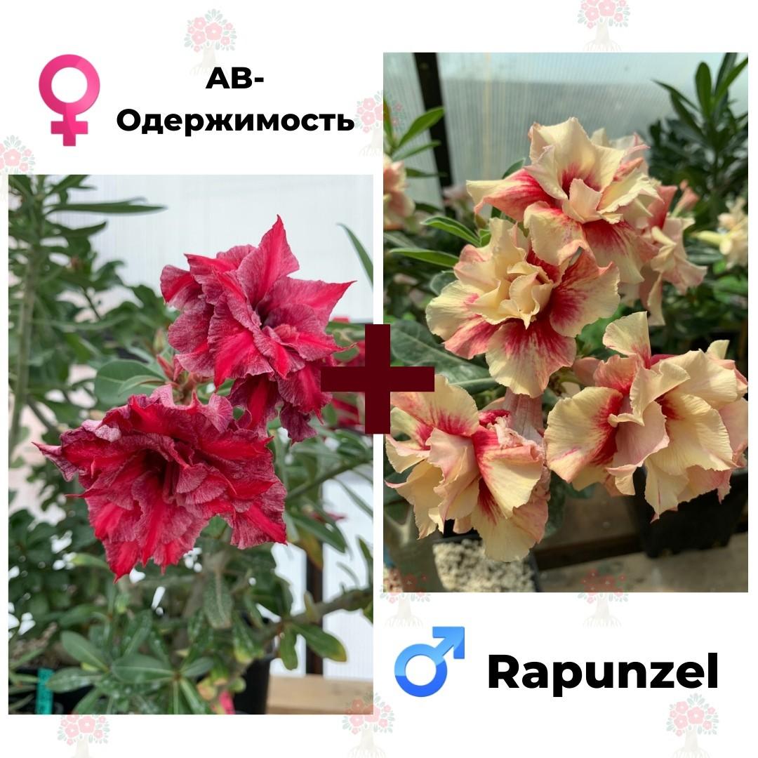 Адениум РО AB-Одержимость + Rapunzel