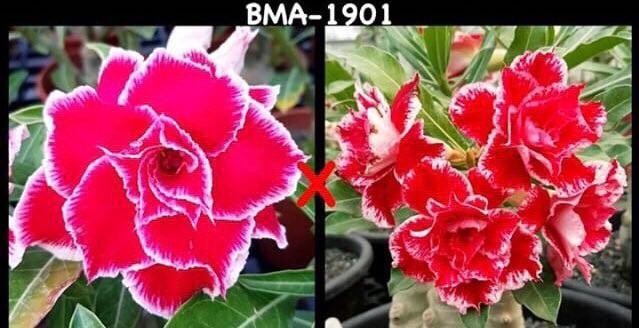 Адениум РО BMA1901