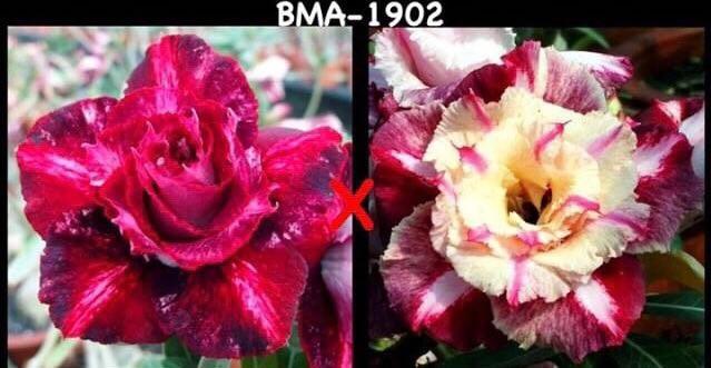 Адениум РО BMA1902