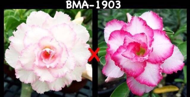 Адениум РО BMA1903