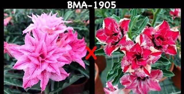 Адениум РО BMA1905