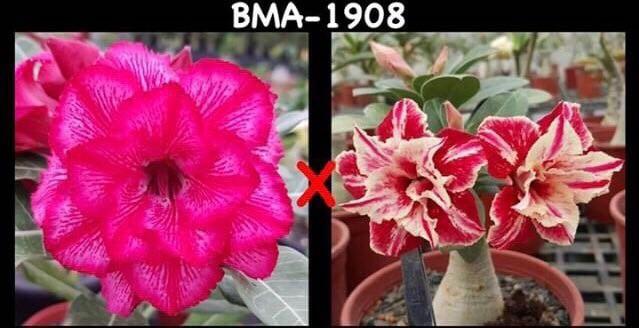 Адениум РО BMA1908