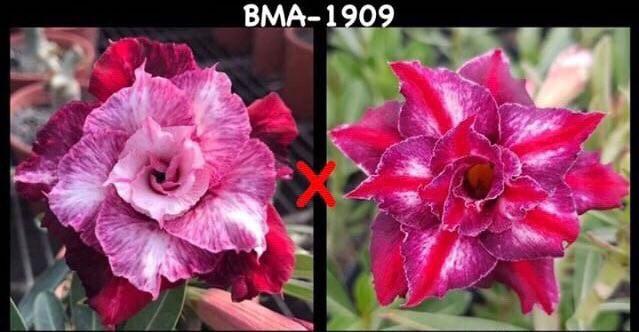 Адениум РО BMA1909