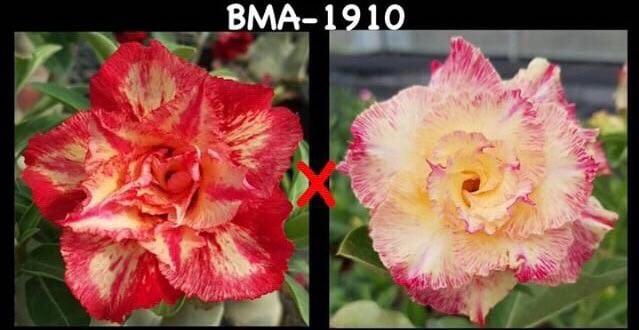 Адениум РО BMA1910