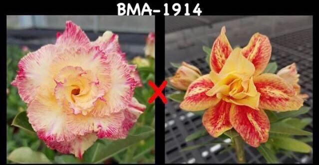 Адениум РО BMA1914