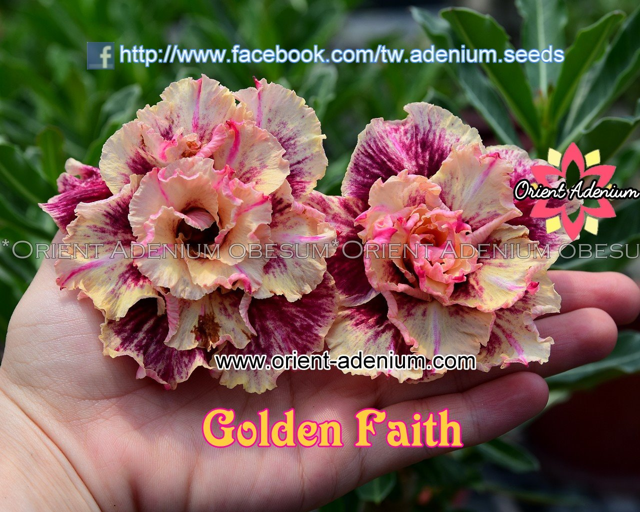 Адениум Тучный Golden Faith