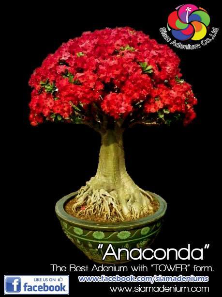 Адениум Сомалийский Anaconda